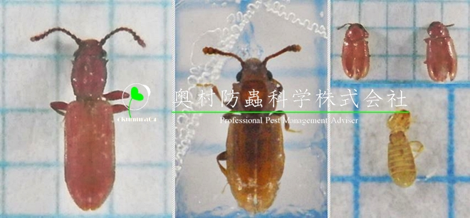 Mycophagous_Insect